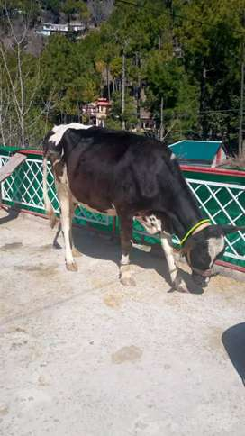 Fresion cow with female kid
