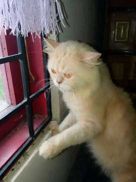 Di jual kucing flatnose persia Nego!!