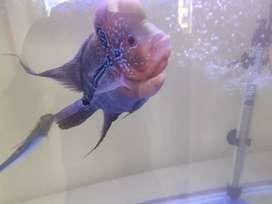 Flower fish with tank + oxygen +heater full set