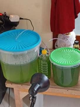 chlorela (bukan air hijau)