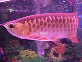 Ikan arwana golden read