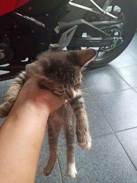 Anak kucing persia anggora