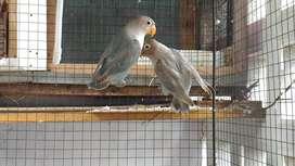 Lovebird/labet 2 ekor paud pasblu