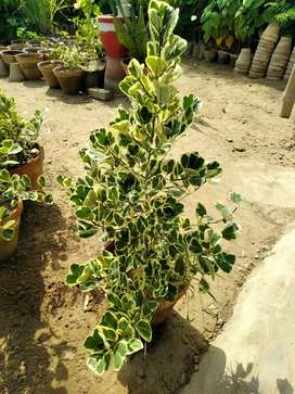 Butterfly Ficus Plant