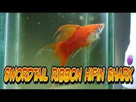 Ikan Platy swordtail ribbon hifin shark