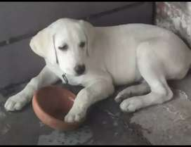 Labrador for sale female and male puppy