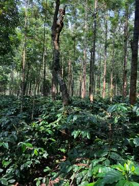 8 Acres of Coffee Estate for sale in Chikkamagalur