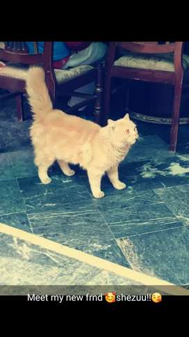Pershion cat..lite brown colour red eyes nd long hair