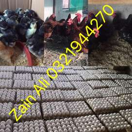 Chickens Available in Different Ages RiR & Austrolorap