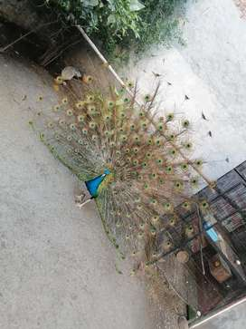 10 Peacock chicks for sale