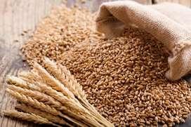 Organic Wheat Dabholi Surat