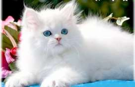 Pure breed persian kitten for sell