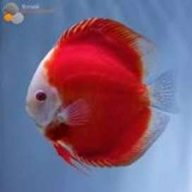 2.5 to 3 inch red melon discus fish in thane
