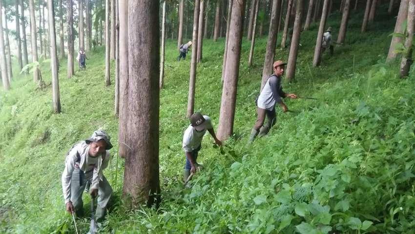 Dijual Pohon kayu jati medle 40-110 cm jumlah 32 rb Pohon