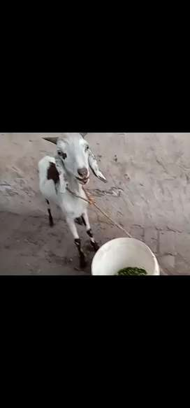 Tedi bakra desi cross