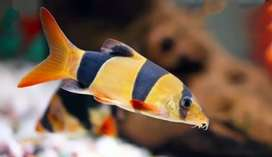 clown loaches for sale