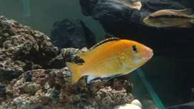 Selling my cichlids Fish at very low price(50rs EACH).