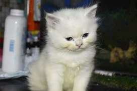 Cute persion cat and kittens are available