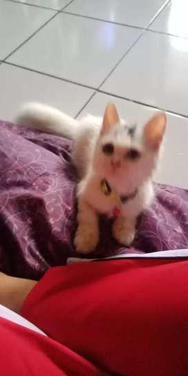 Kucing persia mix minecoon