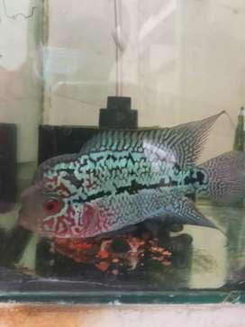 Jual ikan lohan kamfa f2 thaiiland