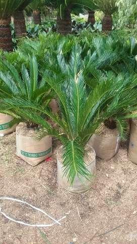Jual tanaman hias cycas / sikas untuk taman