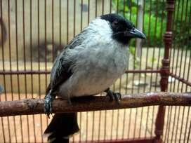 Burung Kutilang Gacor+Kandang