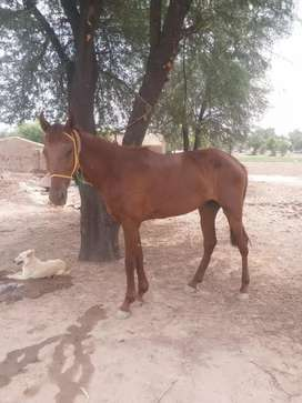 Red filly