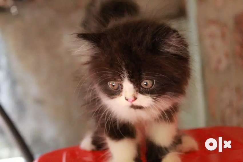PERSIAN CAT FOR SALE 0