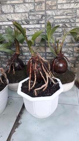 Bonsay kelapa model gurita