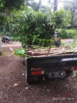 Bibit buah siap antar sampai rumah