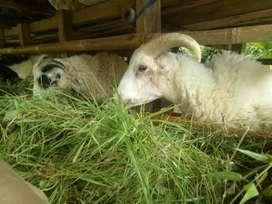 Paket kambing/domba