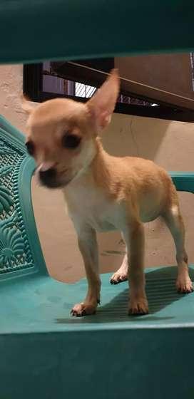 Chihuahua 2 bln siap adopt