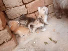 Double cooted rasion cross cat kitten for sale