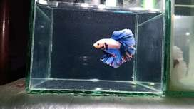 Various betta fishes available
