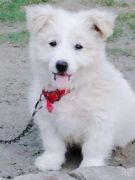 Russian puppy dog 3 months for sale