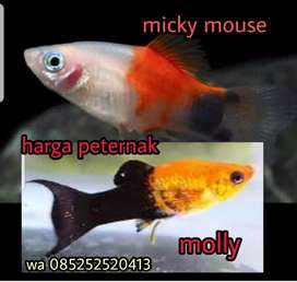 Ikan micky mouse dan molly