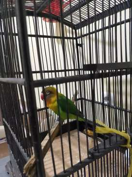 Love bird cerewet abis kontes