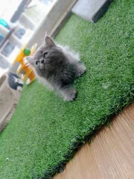 Persian kitten full healthy and active