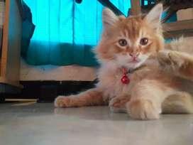Kucing bulu halus warna coklat