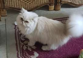Fawn Persian Cat (male)+Cat Carrier+other accessories