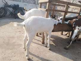 One White Goat With one female White kind 3 month old