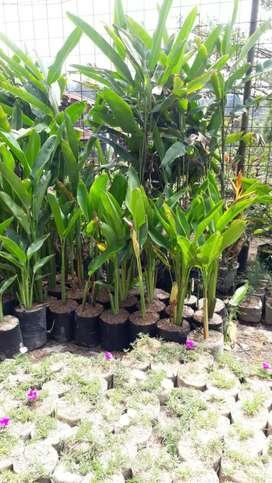 Tanaman hias pisang pisangan Calatea untuk di taman