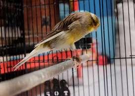 Burung kenari yorkshire betina