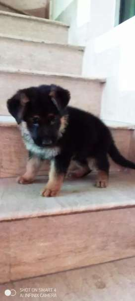 Pure Double coat puppy Male for sale