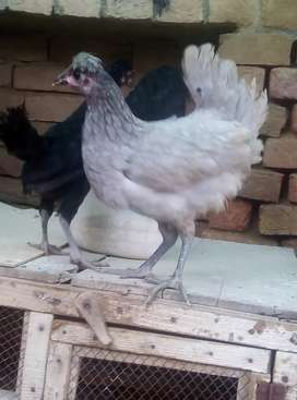 Russian tufted hens for sale