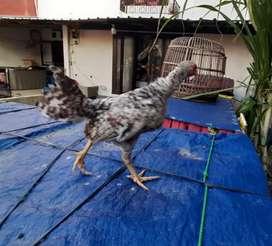 Ayam Fhilipin / pilipin Asli #bangkok pelung birma pakhoy pama JAKARTA