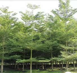 Pohon pelindung ketapang kencana,, sedia berbagai ukuran diametr