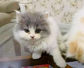 Arabic Persian Cat's are available in Madhya Pradesh