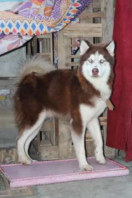 Husky male available for stud