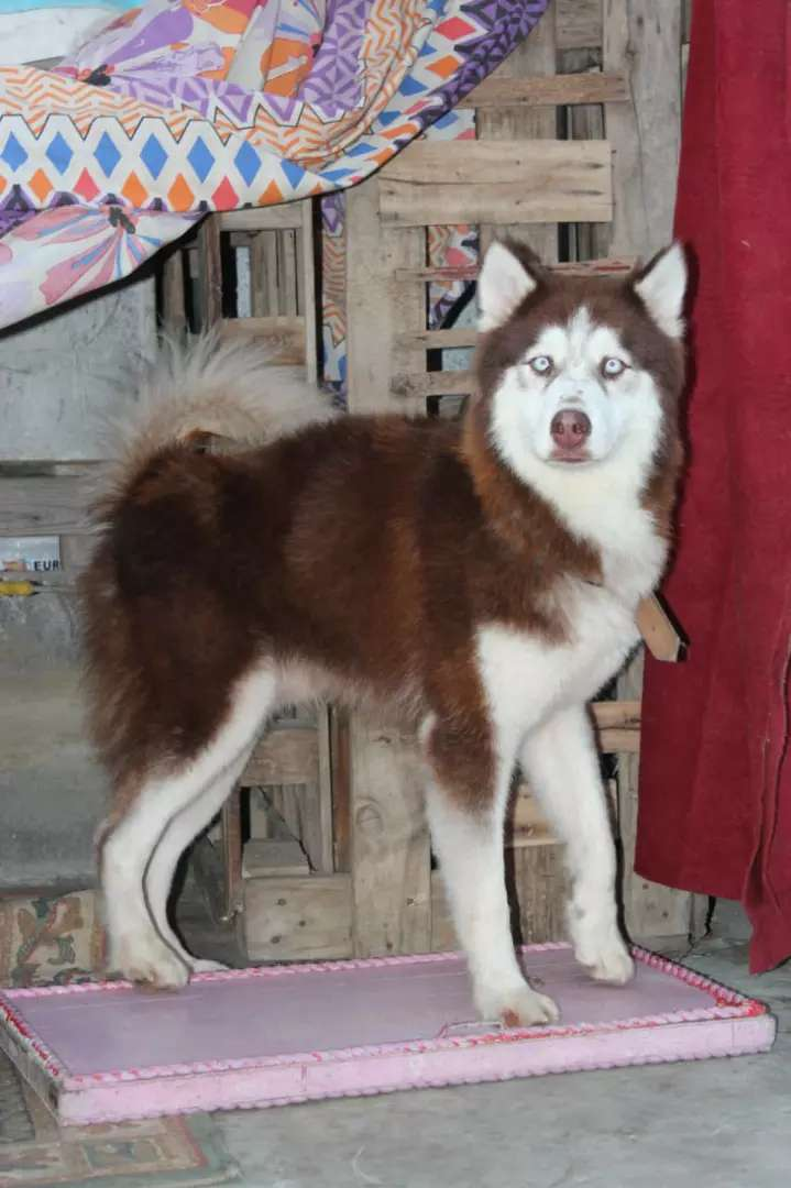 Husky male available for stud 0
